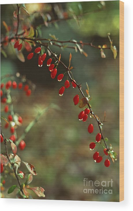 Pennsylvania Wood Print featuring the photograph American Barberry With Raindrops by Anna Lisa Yoder