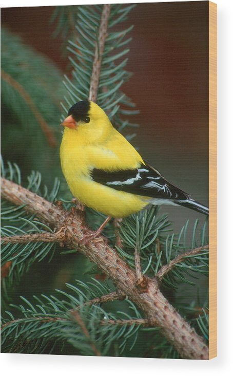 Bird Wood Print featuring the photograph American Goldfinch by Raju Alagawadi