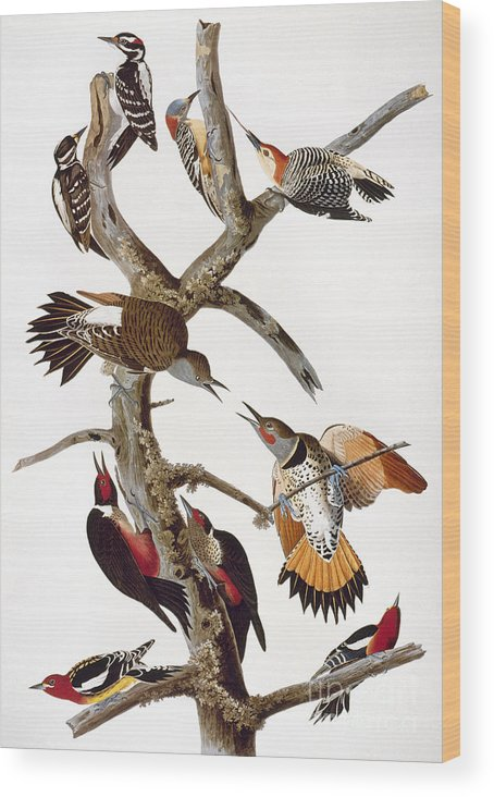 1838 Wood Print featuring the photograph Audubon: Woodpeckers by Granger