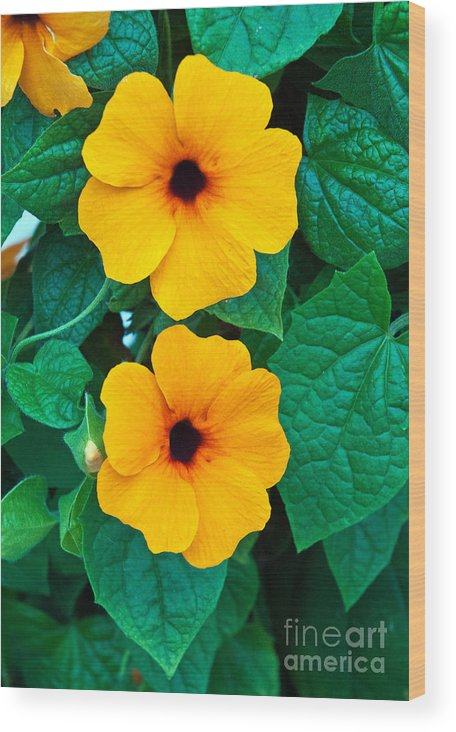 Yellow Flower Thunbergia Vine Plant Background Summer Spring Perennial Susan Blossom Garden Blooming Nature Isolated Leaves Climbing Patio Unusual Acanthaceae Seeker Alata Black Blossoming Orange One Single Space Tropical Stem Leafy Herbaceous Copy Interesting Decoration Eyed Flora Bloom Black-eyed Green Grass Growing Growth Leaf Gardening Formal Beautiful Bed Black-eyed Susan Fence Ornamental Petals Clock Curve Delicate Elegant Climber Bright Picket Abundant Annual Backyard Fast- Wood Print featuring the photograph Black Eyed Susan by Jim Chamberlain