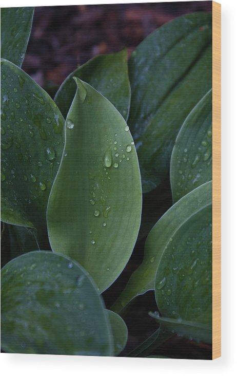 Hossta Wood Print featuring the photograph Hosta Dew Drops by Douglas Barnett