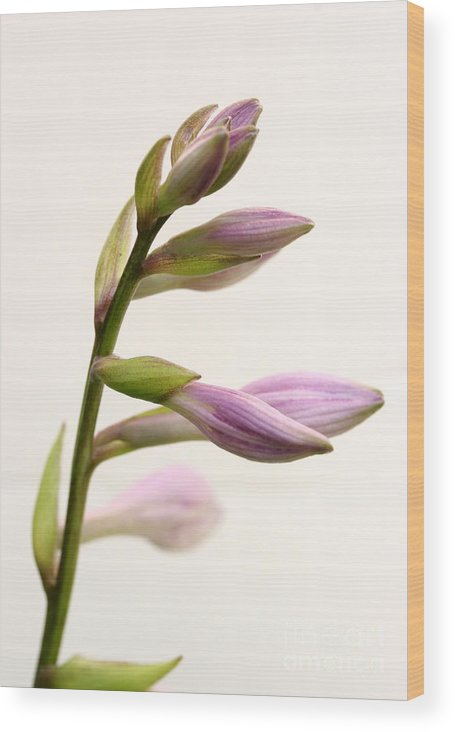 Hosta Wood Print featuring the photograph Hosta Buds by Steve Augustin