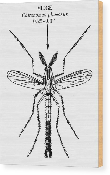 Animal Wood Print featuring the photograph Insect: Midge by Granger