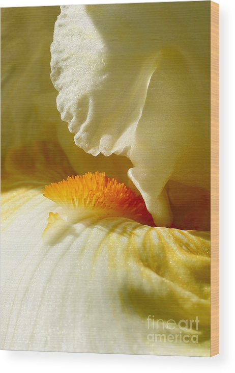 Iris Wood Print featuring the photograph Iris With Touch Of Orange by Steve Augustin