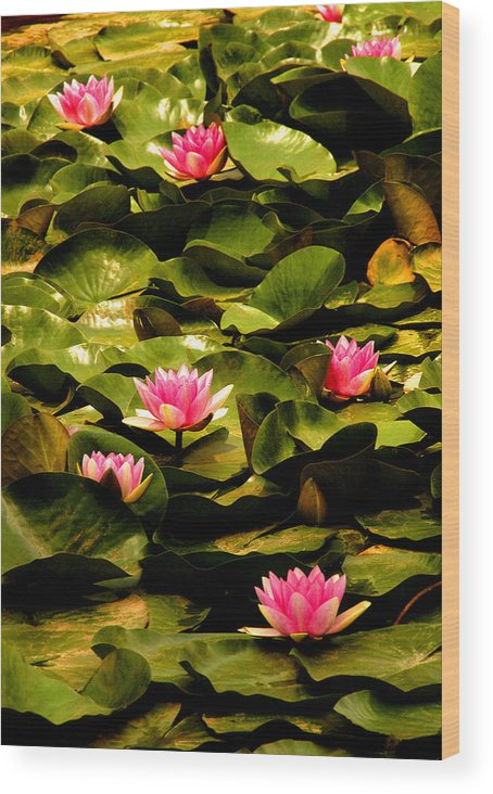 Landscape Wood Print featuring the photograph Lily Pads Above Sunken Treasure by Matthew Altenbach