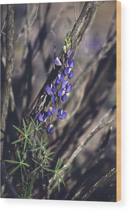 Flower Wood Print featuring the photograph Lonely Lupine by Randy Oberg