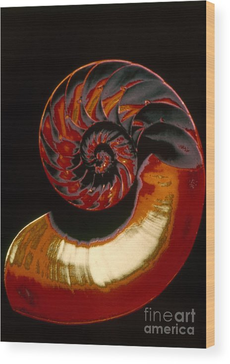 Biology Wood Print featuring the photograph Nautilus by Granger