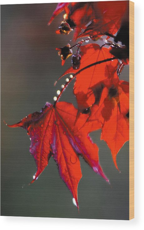 Red Leaves Wood Print featuring the photograph Raindrops On Red Leaves by Steve Somerville