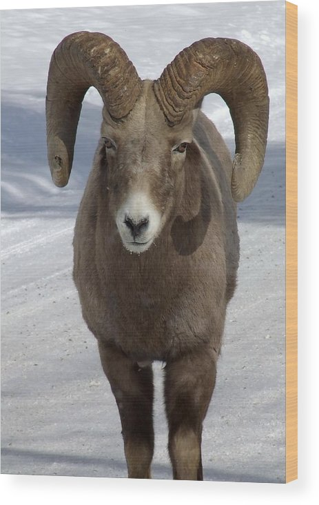 Bighorn Ram Wood Print featuring the photograph Rocky Mountain Ram In Winter by Tiffany Vest