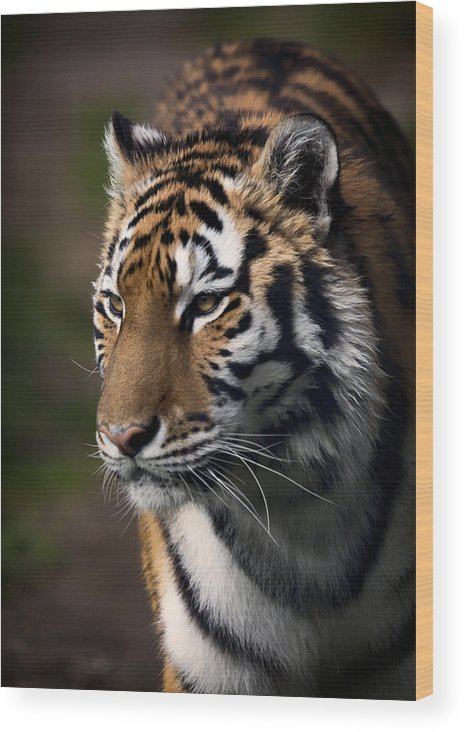 Siberian Tiger Wood Print featuring the photograph Siberian Tiger by Randy Hall