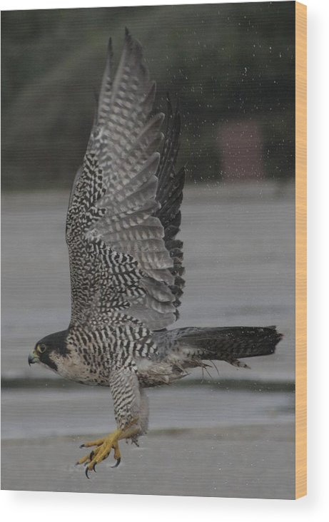 Peregrine Falcon Wood Print featuring the photograph The Peregrine Falcon by Christopher Kirby