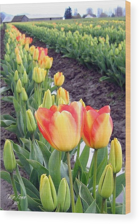 Agriculture Wood Print featuring the photograph Tulip Town 6 by Will Borden
