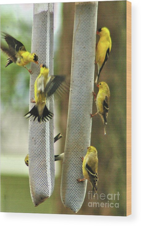 Yellow Finch Wood Print featuring the photograph Yellow Finch Feeding Frenzy by W G Smith