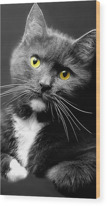 Cat Wood Print featuring the photograph Domestic Gray And White Short Hair by Diana Angstadt