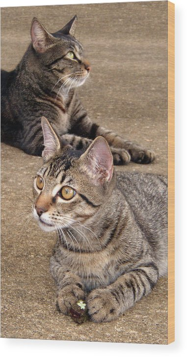 Tabby Wood Print featuring the photograph Two Tabby Cats by Nicole I Hamilton