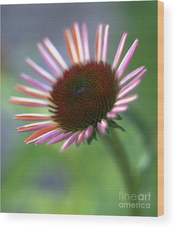 Genus Echinacea Wood Print featuring the photograph Coneflower by Tony Cordoza