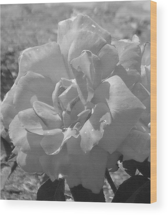 Rose Wood Print featuring the photograph Dew Rose by Pharris Art