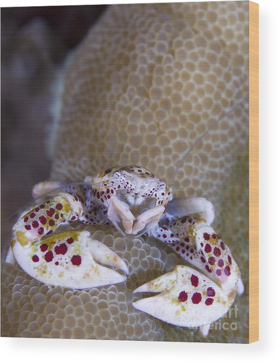 Anomura Wood Print featuring the photograph Spotted Porcelain Crab Feeding by Steve Jones