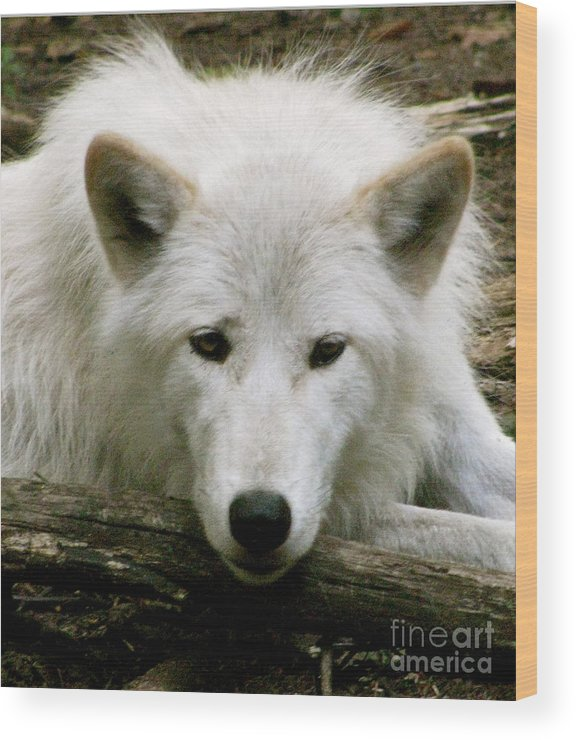 Wild Wolves Group B Wood Print featuring the photograph Here' S Looking At You by Debra   Vatalaro