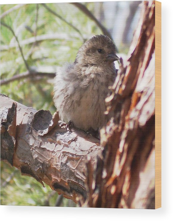Baby Siskin Wood Print featuring the photograph Little Shy by Marika Evanson