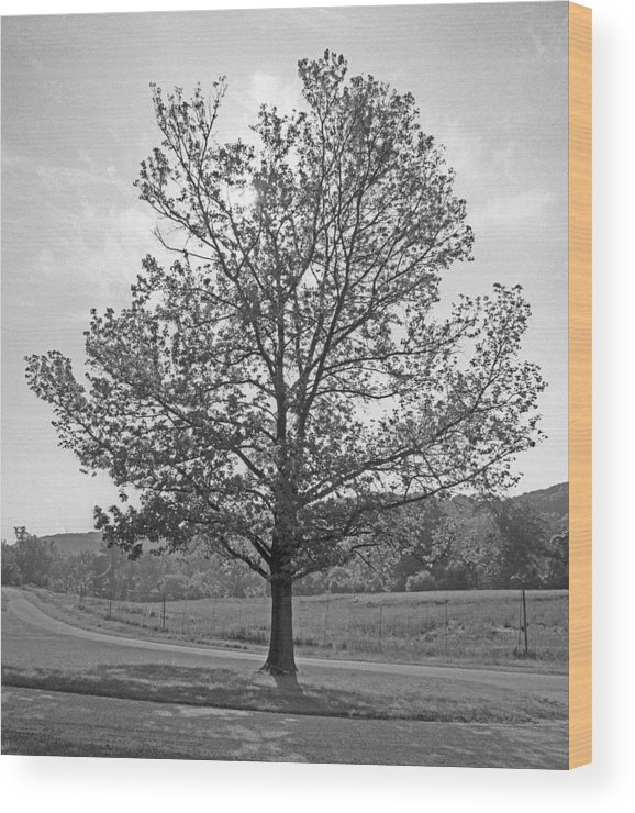Trees Wood Print featuring the photograph Sunlit Tree by Paul Trunk