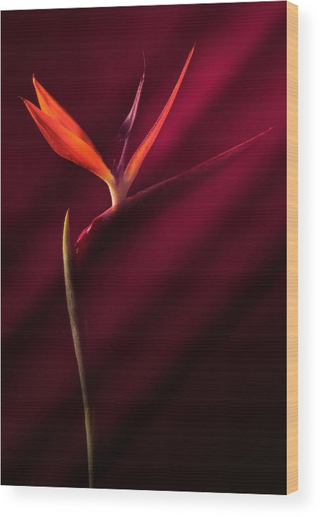 Bird Of Paradise Wood Print featuring the photograph Bird Of Paradise 1 by Joseph Gerges