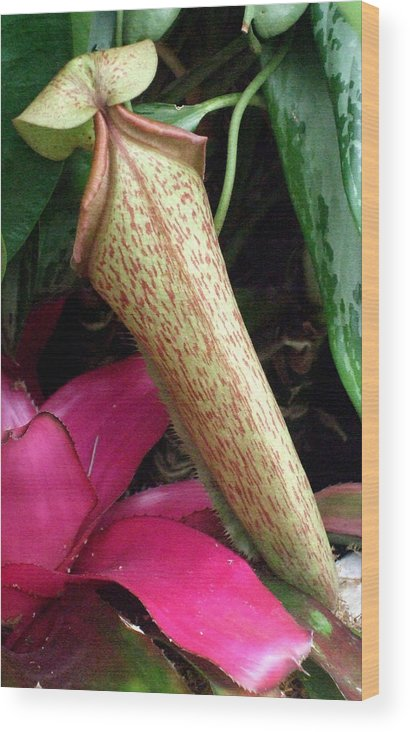 Carnivorous Plants Wood Print featuring the photograph The Pitcher by Mindy Newman