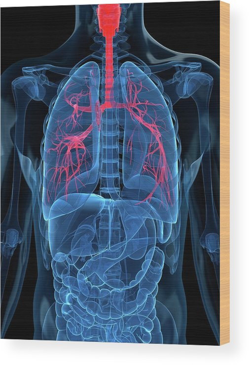 Human Lung Wood Print featuring the digital art Human Lungs, Artwork by Sciepro