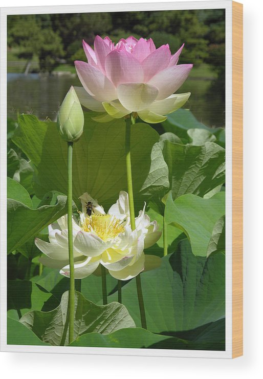 Lotus Wood Print featuring the photograph Lotuses in Bloom by John Lautermilch