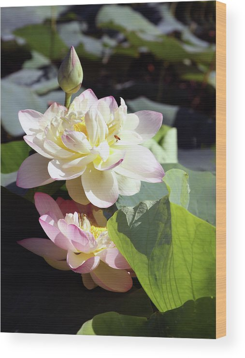 Lotus Wood Print featuring the photograph Lotus in Bloom by John Lautermilch
