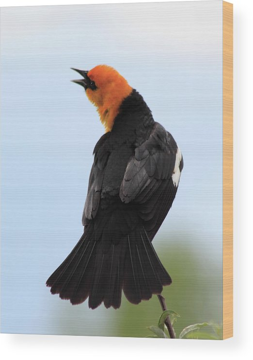 Yellow-headed Blackbird Wood Print featuring the photograph Showing Off by Shane Bechler