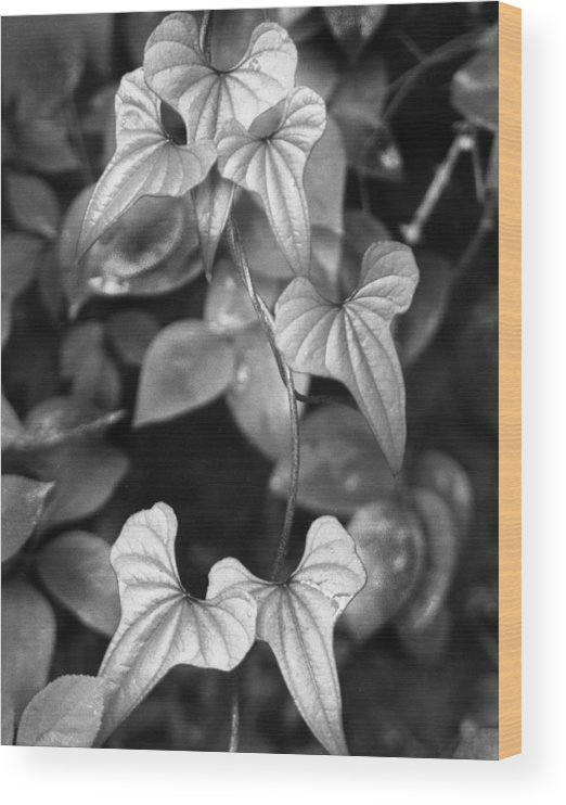 Ansel Adams Wood Print featuring the photograph ivy by Curtis J Neeley Jr