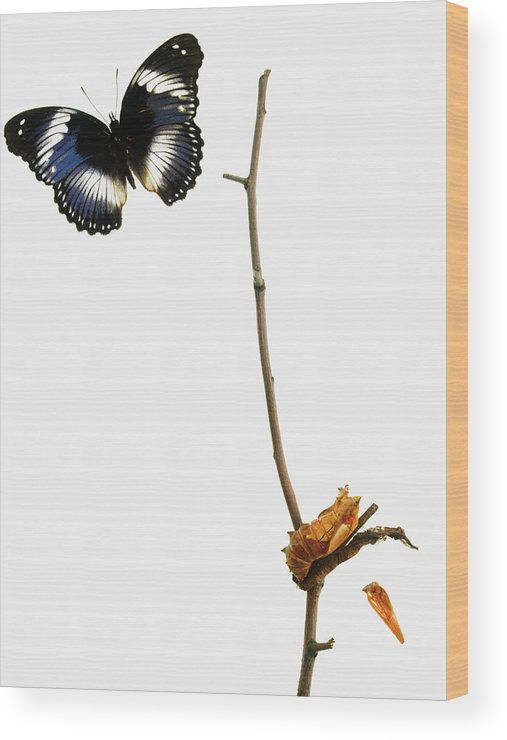 White Background Wood Print featuring the photograph Butterfly Transformation by David Arky