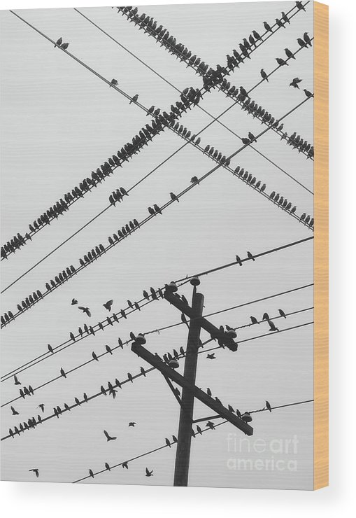 Crisscross Wood Print featuring the photograph Perched Murmuration by Shaunl