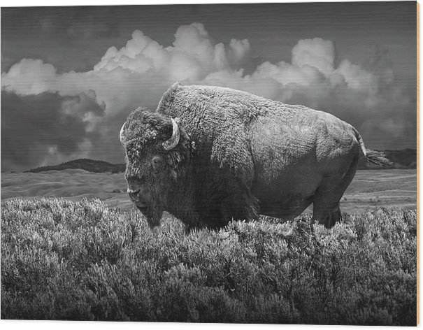 Black and White of American Buffalo in Yellowstone by Randall Nyhof