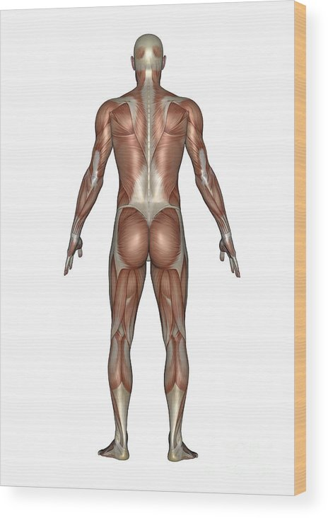 Anatomy Wood Print featuring the digital art Anatomy Of Male Muscular System, Back by Elena Duvernay