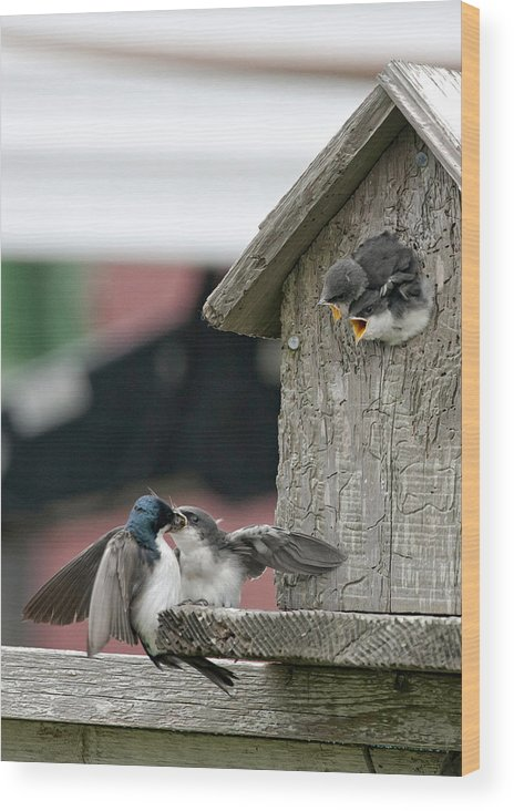 Swallow Wood Print featuring the photograph Hungry Babies by Betty Depee