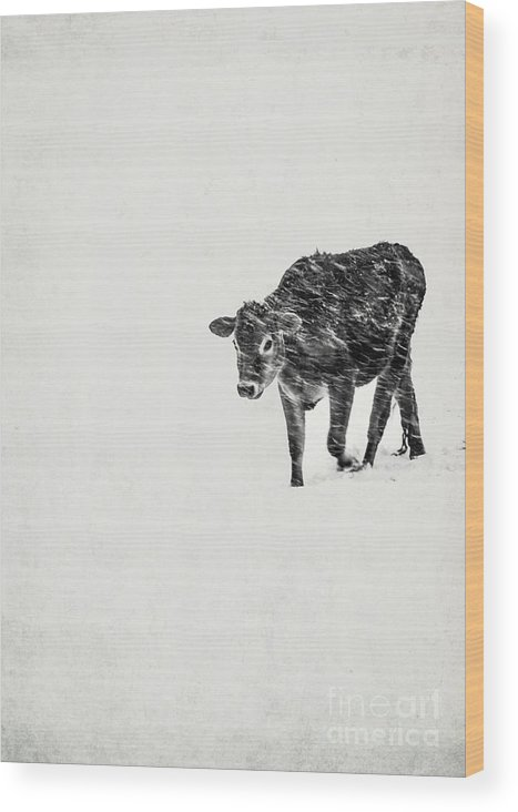 Calf Wood Print featuring the photograph Lost Calf Struggling In A Snow Storm by Edward Fielding