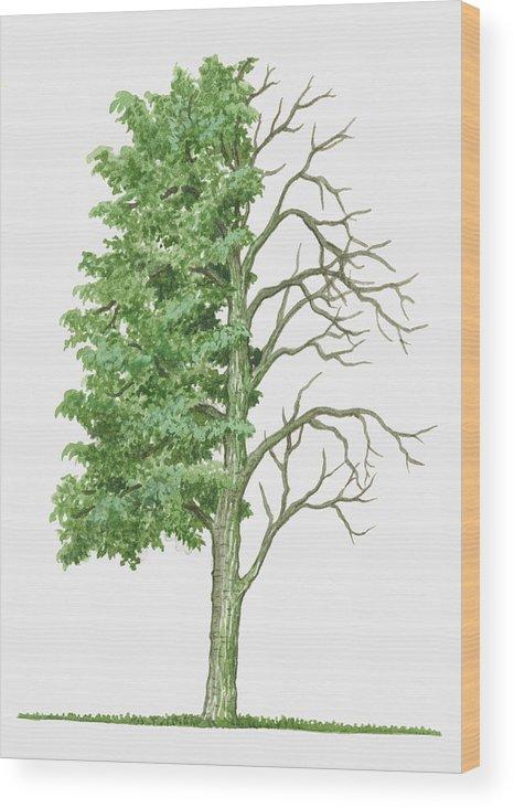Illustration Showing Shape Of Deciduous Acer Capillipes Kyushu