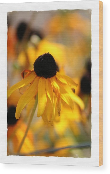 Black Eyed Susan Wood Print featuring the photograph Black Eyed Susan by Sherrie Triest