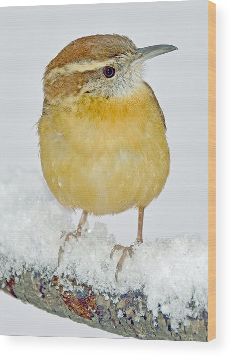 Songbird Wood Print featuring the photograph Carolina Wren In Winter by A Gurmankin