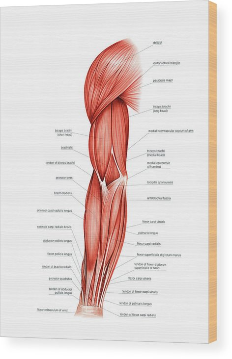 Muscles Of Right Upper Arm Wood Print by Asklepios Medical Atlas