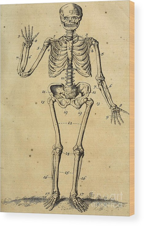 Anatomy Human Body Old Anatomical 154 Wood Print by Boon Mee