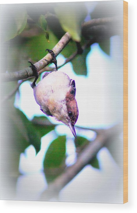 Brown-headed Nuthatch Wood Print featuring the photograph Brown-headed Nuthatch 9173-006 by Travis Truelove