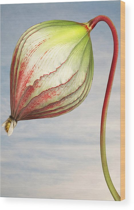 Artificial Wood Print featuring the photograph Close Up Of Triffid Flower by Matt Walford