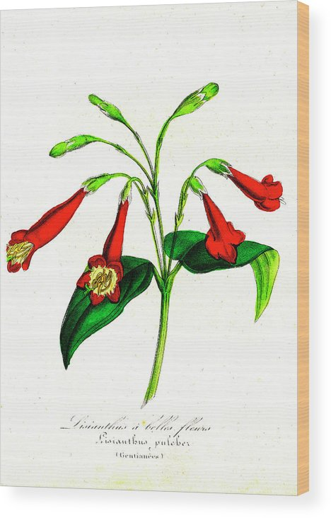 19th Century Wood Print featuring the photograph Gentian (lisianthus Puleber) by Collection Abecasis/science Photo Library