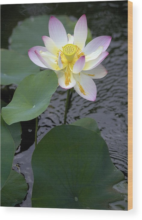 Lotus Blossom Wood Print featuring the photograph Greet The Day by Craig Bohanan