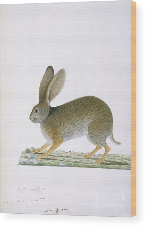 Watercolour Wood Print featuring the photograph Hare by British Library
