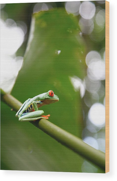Agalychnis Callidryas Wood Print featuring the photograph Red Eyed Tree Frog, Agalychnis by Yadid Levy