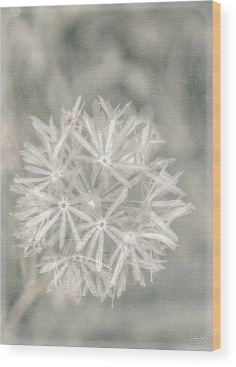 Asteraceae Wood Print featuring the photograph Silver Puff by Susan Eileen Evans
